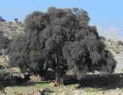 Arganovo drevo