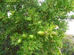 Sadeži arganovega drevesa